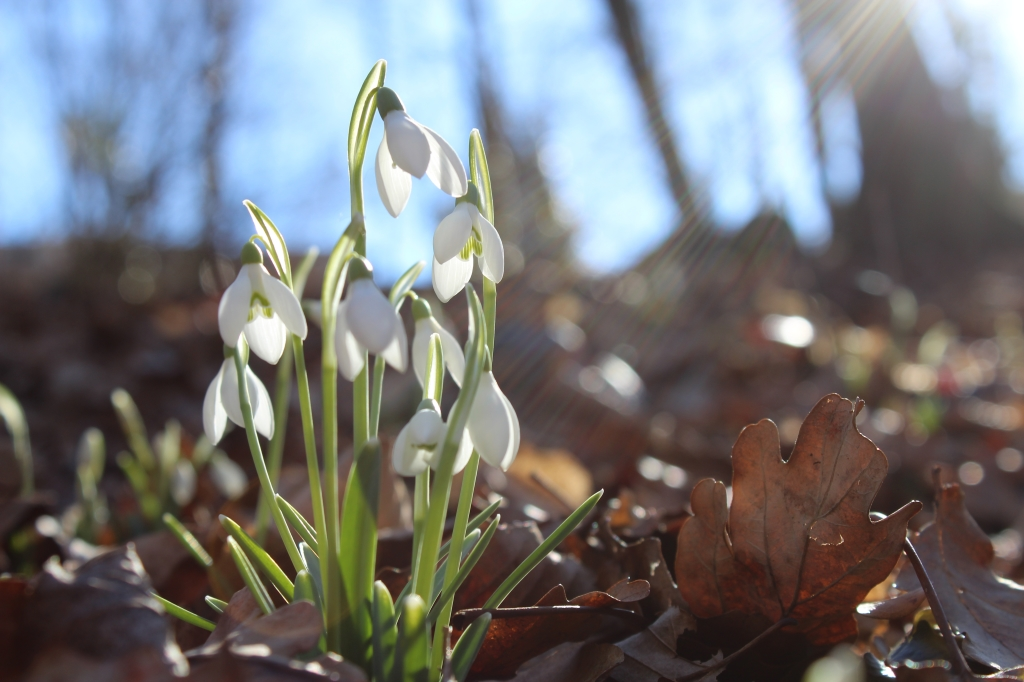 2020Nature___Seasons___Spring_White_snowdrop_flowers_in_the_bright_spring_sun_139429_